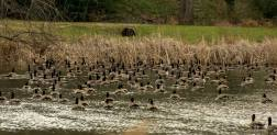 shouse-pond-birds